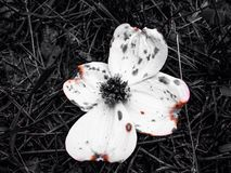 Burnt. Found this flower on a Royalty Free Stock Image