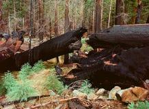 Burnt Giant Sequoia Stock Photos