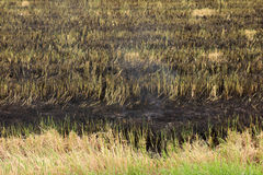 Burnt grass in the field after the fire. Close up. Stock Images