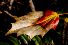 A burnt leaf dying. Burnt leaf slowly dying, red yellow and brown pointy tips stock photos
