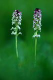 Burnt Orchid, Orchis ustulata, flowering European terrestrial wild orchid, nature habitat, detail of bloom, green clear background Royalty Free Stock Photo