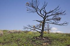 Burnt pine tree Stock Photo