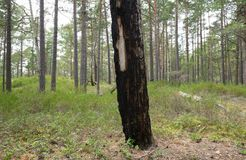 Burnt pine tree in pine forest Royalty Free Stock Photo