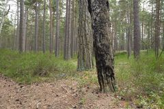 Burnt pine tree in pine forest Stock Photos