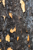 Burnt Pine Tree Surface Royalty Free Stock Images