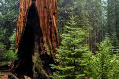 Burnt Sequoia Stock Photo