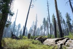 Burnt sequoias at Yosemite National Park in California royalty free stock photos