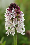 Burnt-tip Orchid Royalty Free Stock Image