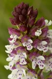 Burnt-tip Orchid. Orchis ustulata Stock Photo