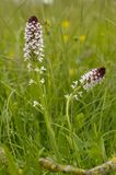 Burnt-tip Orchid. Orchis ustulata Stock Image