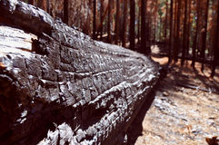 Burnt Tree. A photo of the burnt remains of a tree following a forest fire in the Mariposa Grove, Yoseimte National Park stock image
