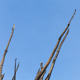 Burnt tree against the sky Stock Image