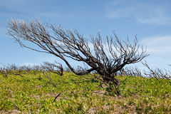Burnt tree in australian outback Royalty Free Stock Images