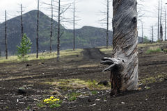 Burnt tree in Dead Forest Dead Wood on Kamchatka Peninsula Royalty Free Stock Photo