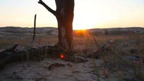 Burnt tree in the desert at sunset. Dolly shot stock video