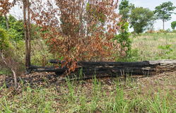 The burnt tree in the forest after wildfire Stock Photo