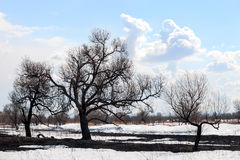 Burnt tree and grass coming out of melting snow Stock Image