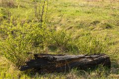 Burnt tree trunk against the background of green grass royalty free stock photography
