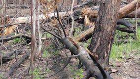 Burnt tree trunks. stock footage