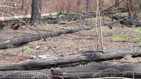 Burnt tree trunks on ground. stock video footage