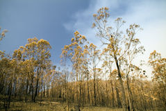 Burnt Trees. Aftermath of a bushfire, dead and blackened trees Stock Photo