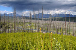 Burnt trees in Glacier  park Royalty Free Stock Photography