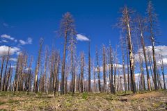 Burnt trees, Grand Canyon North Rim Royalty Free Stock Images