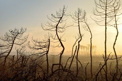 Burnt trees Royalty Free Stock Photography