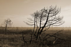 Burnt trees Royalty Free Stock Images