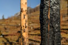 Burnt trees on mountain after wildfire stock images