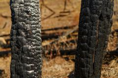 Burnt trees on mountain after wildfire stock photography