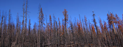 Burnt trees panorama Stock Photo