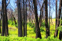 Burnt trees standing among green undergrowth. Sequoia National Forest stock photography