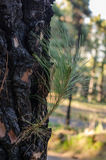 Burnt trunk reborn. Small branch reborn in the trunk of burnt canary pine Stock Photography