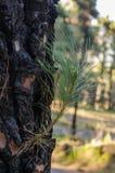 Burnt trunk reborn Stock Photography