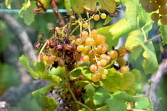 Burnt white wine grapes, unpicked Stock Photo