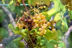 Burnt white wine grapes, unpicked Stock Photo
