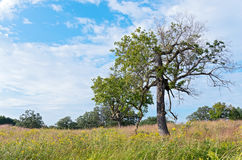 Burr Oak Trees in Prairie Stock Photos