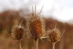 Burr Of Teasel Comb (Dispacus Sylvestris) Royalty Free Stock Photography
