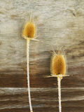 Burr of Teasel Comb (Dispacus sylvestris) Royalty Free Stock Images