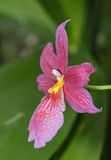 Burrageara Nelly Isler Orchid Royalty Free Stock Photo