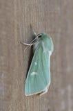 Burren Green - Calamia tridens Royalty Free Stock Photo