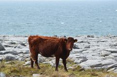 In the Burren national park a celtic cow walking. A celtic cow walking around the Burren national park in Ireland Stock Photos