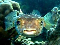 Burrfish Photos libres de droits