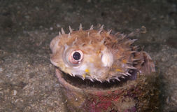 Burrfish, pufferfish in a cup underwater. A small burrfish or porcupine puffer fish in a cup on the sand Stock Photography