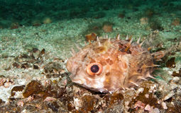 Burrfish, pufferfish. A small burrfish or porcupine pufferfish on the sand Stock Image