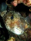 Burrfish repéré par jaune images stock