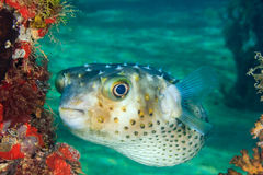 A Burrfish swims next to a coral encrusted pier leg on a tropica. An inquisitive Burrfish next to a manmade jetty leg in shallow water stock photography