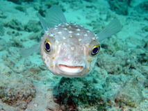 burrfish yellowspotted Photo libre de droits