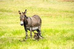 Burro матери и младенца Стоковое Изображение RF